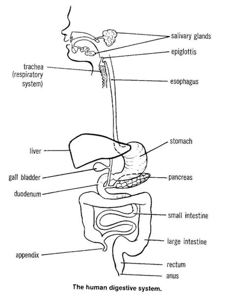 diagram of the digestive system digestive system diagram diagram site