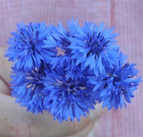 Benih Bunga Mr Fothergills Import Cornflower Blue benih centaurea florist blue boy jual tanaman hias