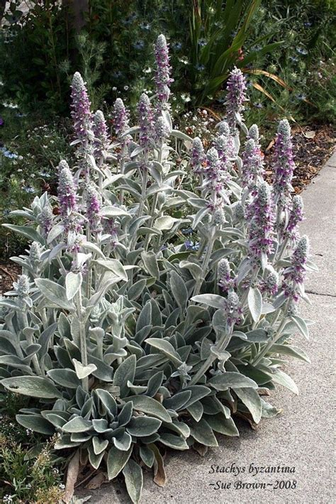 lamb s ears plant care and collection of varieties garden org