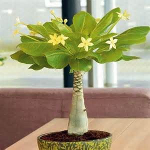 Patio Import Brighamia Insignis Flowering Hawaiian Palm House Plant Ebay