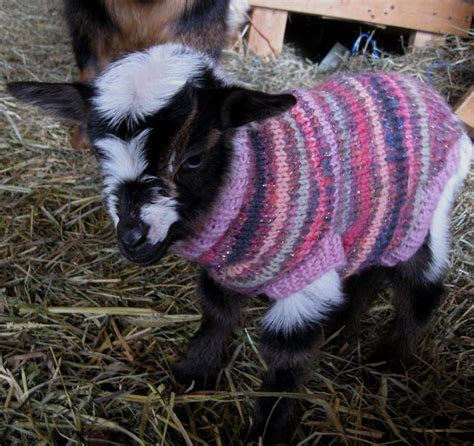 pattern for knitted goat sweater our first baby of 2013 a little blue eyed doeling now