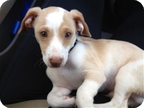 puppy adoption miami caramelo adopted puppy miami fl terrier beagle mix
