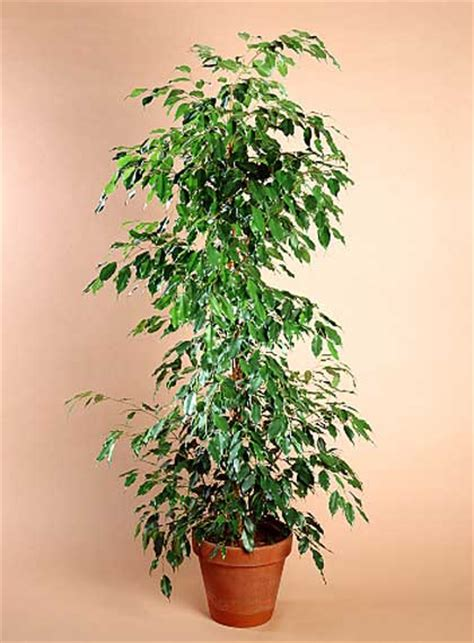 ficus interior plantas de interior ficus