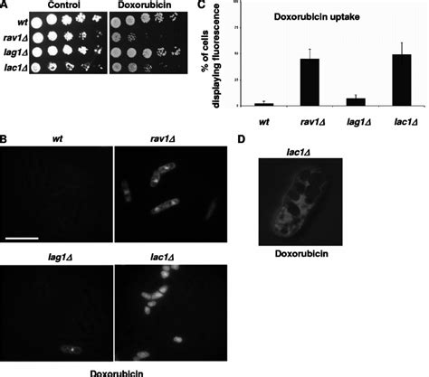 Increased Accessibility Can Lead To Mutations In Rav1 And Lac1 Lead To Increased Accumulation Of
