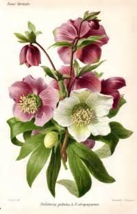 Vintage Flower Drawing - 1883 hellebore purple white antique botanical print french