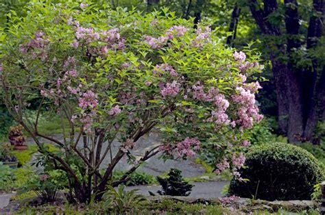 flowering garden shrubs 19th century garden writer robinson encouraged