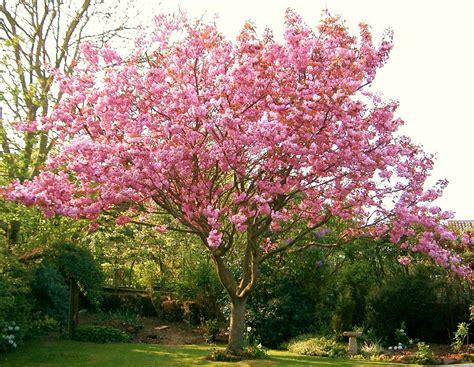 top 28 flowering cherry trees varieties types of