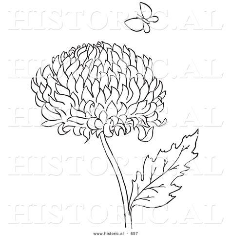 Historical Vector Illustration of a Chrysanthemum Flower