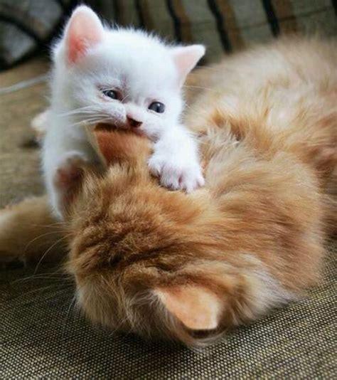 berta tiene un gatito mi gato adulto no acepta al nuevo gatito la loca de los gatos