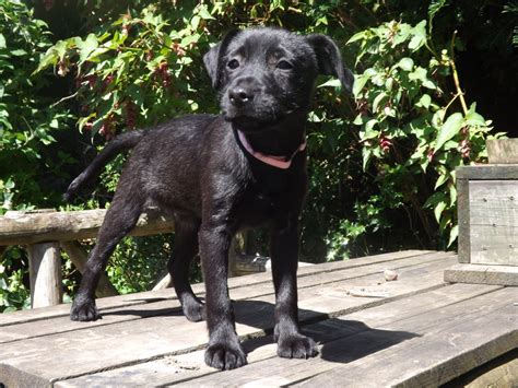 patterdale terrier puppies for sale patterdale terrier for sale breeds picture