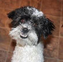 havanese rescue nyc adoptable dogs mostly havanese on havanese dogs lhasa apso and adoption