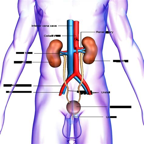 Human Urinary System Parts And Functions Diagram Of The ... Human Urination