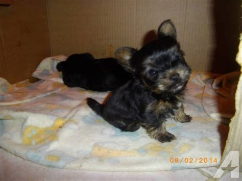 yorkie teacups for adoption baby teacup yorkie puppies for adoption for sale in beaumont classified