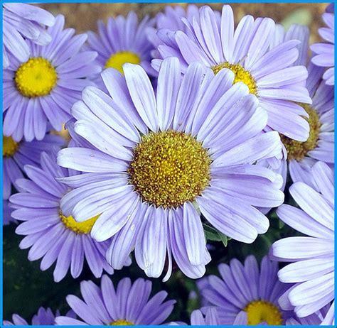daisies flower daisy flower gerbera daisy flowers pink white silk