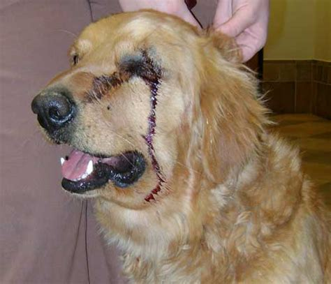 golden retriever bite client testimonials snake proofing your