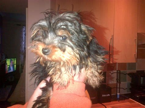 teacup yorkie uk teacup yorkie for sale accrington lancashire pets4homes