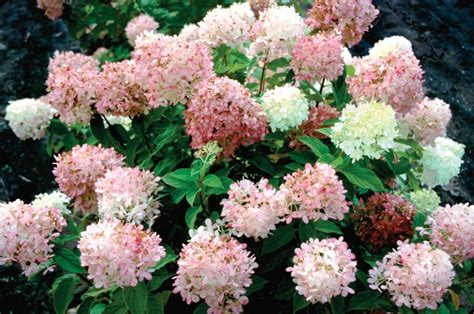 fall blooming plants zone 5 shrubs that burst into color for fall proven winners