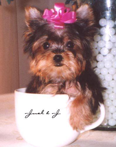 miracle yorkies 25 best ideas about teacup yorkie on yorkie teacup puppies