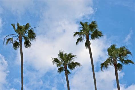 California Palm california palm trees wallpaper wallpapersafari