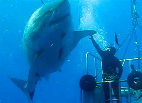 what is the largest great white shark ever recorded primer one of the largest great white sharks ever caught on
