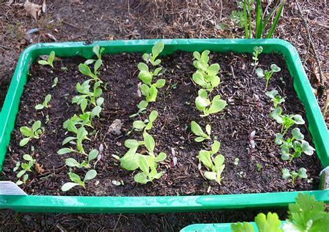 salat pflanzen ab wann kopfsalat anbauen freilandkultur und salat im gew 228 chshaus