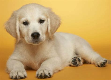 buy puppy 20 best images about cutest puppys on white puppies wallpaper and