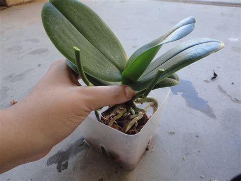cura delle orchidee in vaso orchidee cura orchidee come curare le orchidee