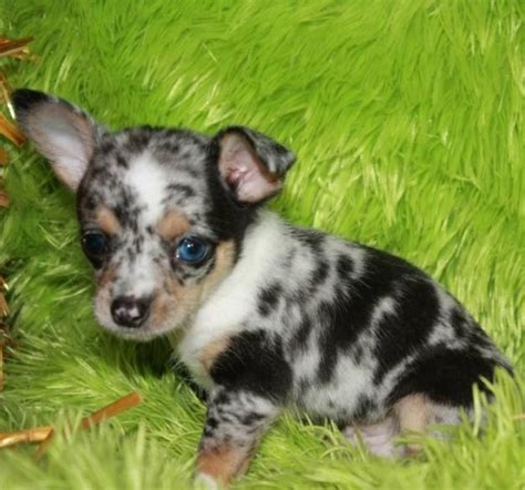 puppies for sale in new york micro teacup chihuahua puppies for sale on island new york li ct nj in new