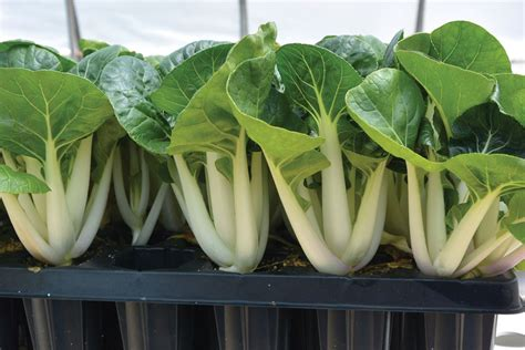 hydroponic root vegetables the intrigue of edible petiole crops for hydroponic