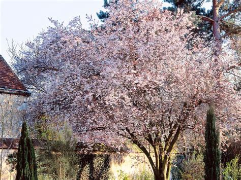 4 flowering cherry trees and how to plant them