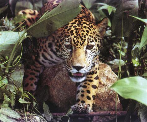 jaguars usa jaguars in the usa