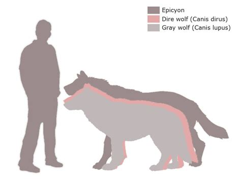 wolf size compared to epicyon vs dire wolf vs gray wolf our planet