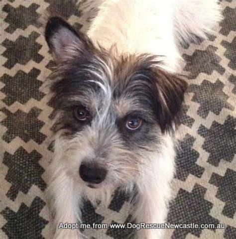 maltese terrier cross shih tzu pin maltese terrier shih tzu cross on
