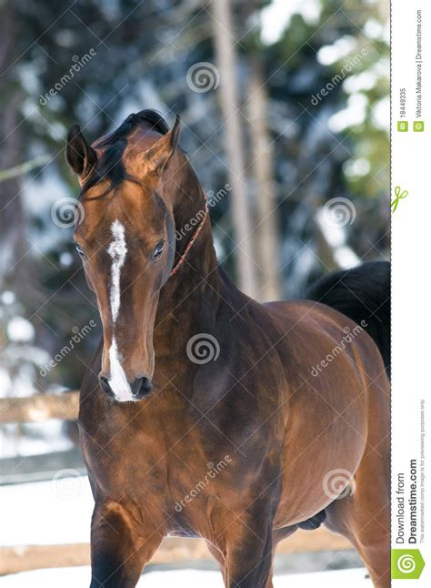 Golden Akhal-teke Horse Portrait In Winter Royalty Free ... Horse Background Clipart