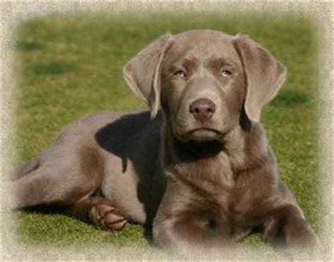 lab puppies for sale in nc 153 best silver labs images on