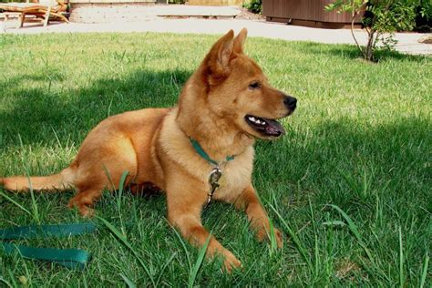 rare dog breeds puppies 12 rare breeds of dog you ve probably never heard of