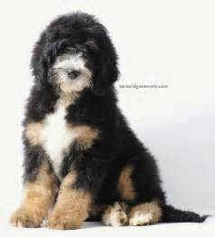 Bernedoodle Puppies For Sale » Home Design 2017
