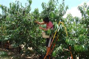 Fruit Picker by Fruit Pickers Deported In Illegal Workers Swoop Abc Goulburn Murray Australian Broadcasting
