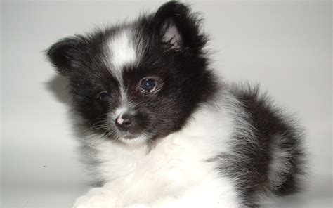 pomeranian puppies husky dogs that stay small breeds picture