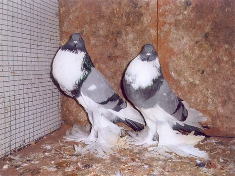 pomeranian pouter pigeons for sale pomeranian pouter pigeon car interior design