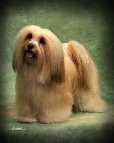 happy paws havanese happy paws havanese happy paws havanese minnesota akc show breeder