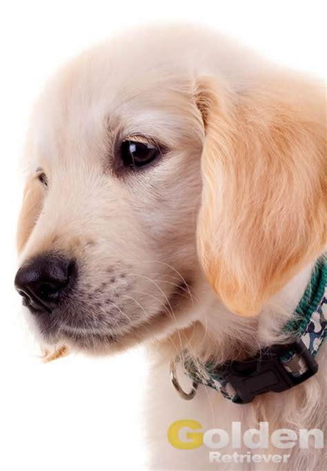 cachorros golden retriever un cachorro de golden en casa consejos iniciales web golden retriever