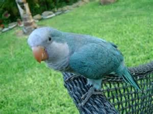 hello friends blue quaker parrot
