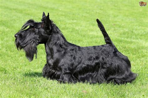 top dog breeds some popular wirehaired dog breeds pets4homes