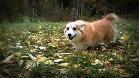 dogs 101 pomeranian dogs 101 pomeranian spitz samoyed breeds picture