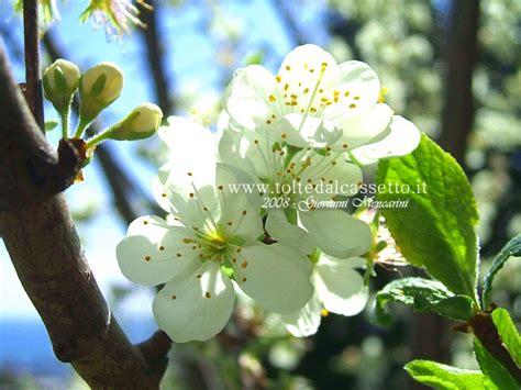 fiori di susino sfondo per desktop fiori di susino san