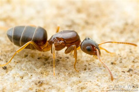 Odorous House Ants by Ants Vector Services