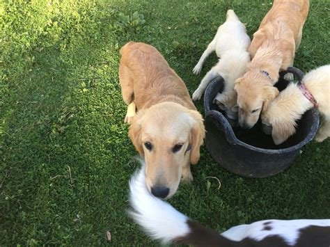 boston golden retriever breeders kc registered golden retriever puppies boston lincolnshire pets4homes