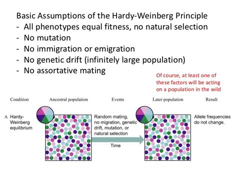 hardy weinberg principle ib biology option d 4 hardy weinberg principle