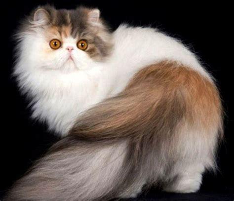 Ekor Kucing Persia   Ragam Informasi